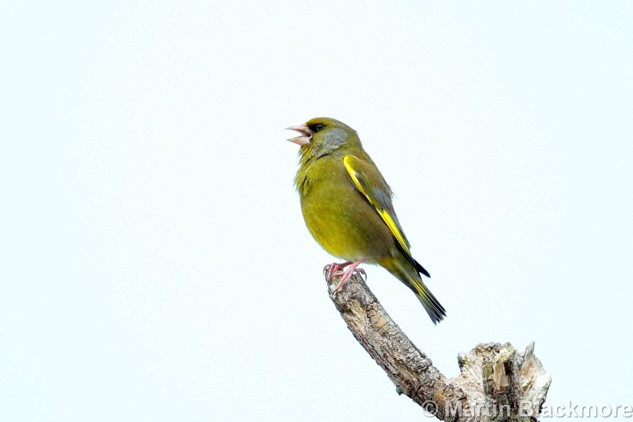 Greenfinch Hersey Nature Reserve Seaview Isle of Wight