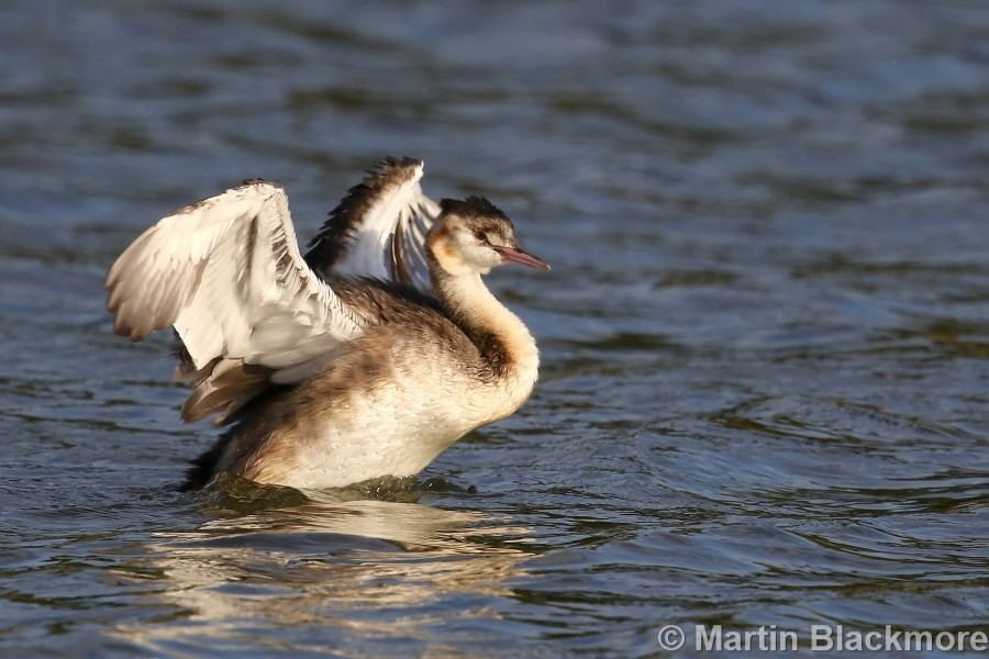 Great Crested Grebe#3