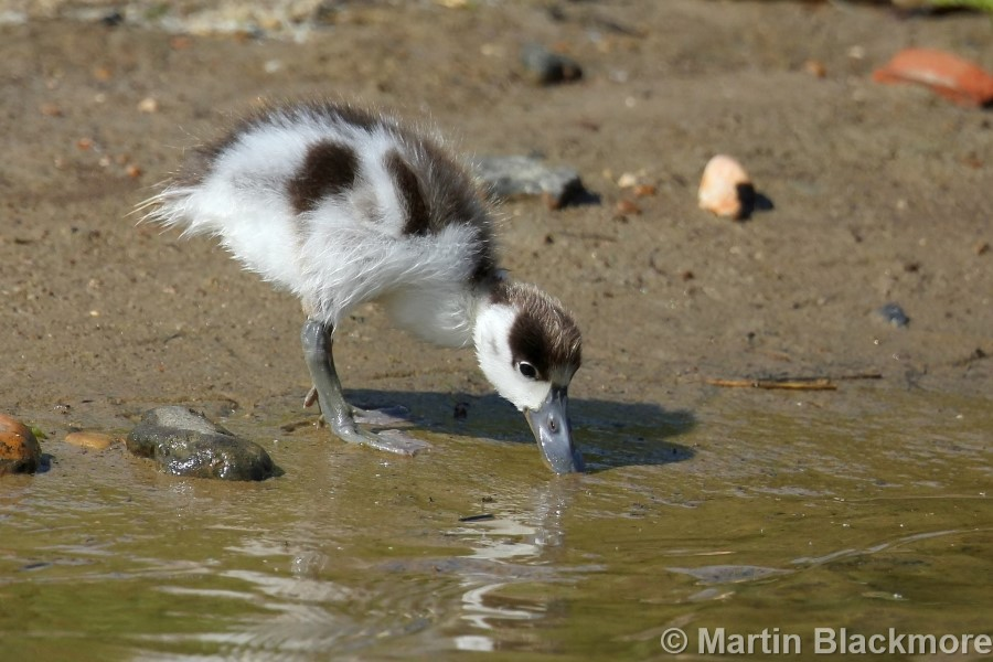 Shelduck Duckling#2
