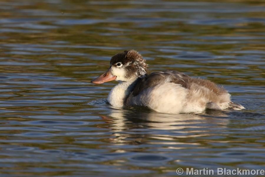 Shelduck Duckling#4