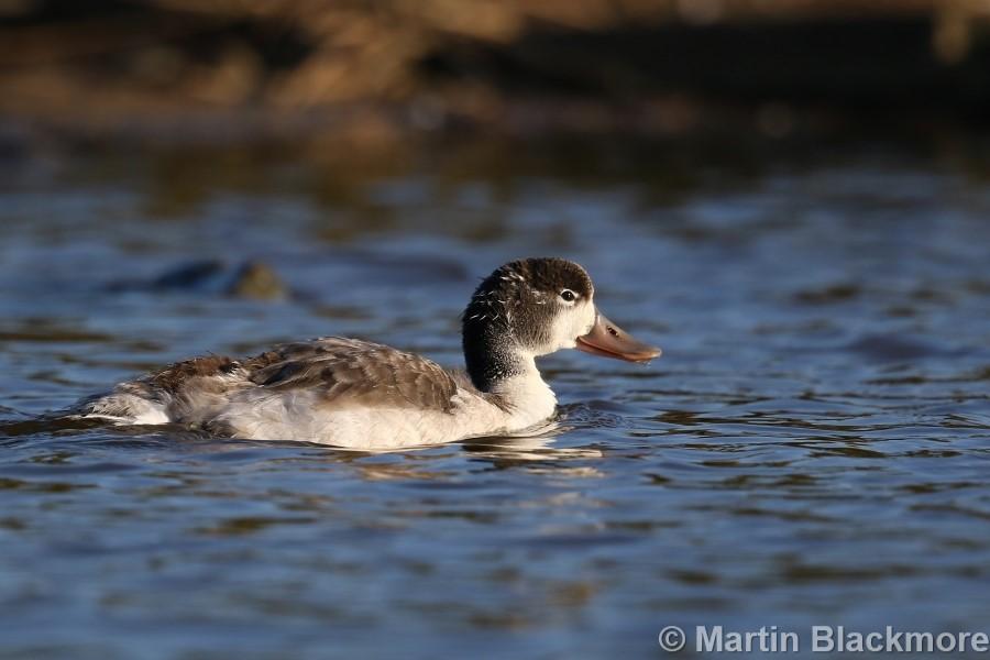 Shelduck Duckling#5