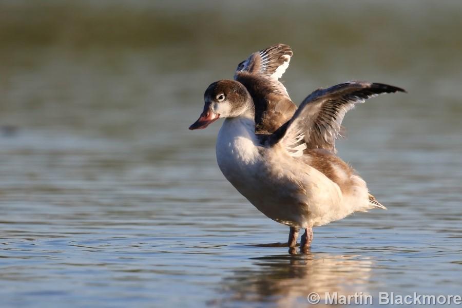Shelduck Duckling#6