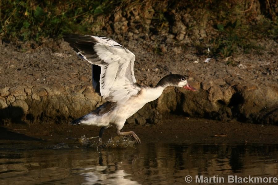 Shelduck Duckling#7