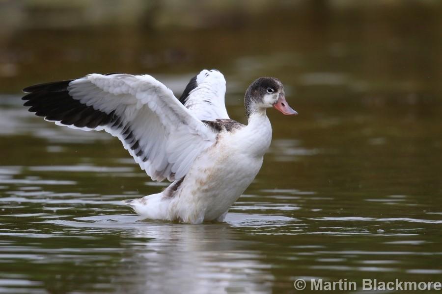 Shelduck Duckling#8