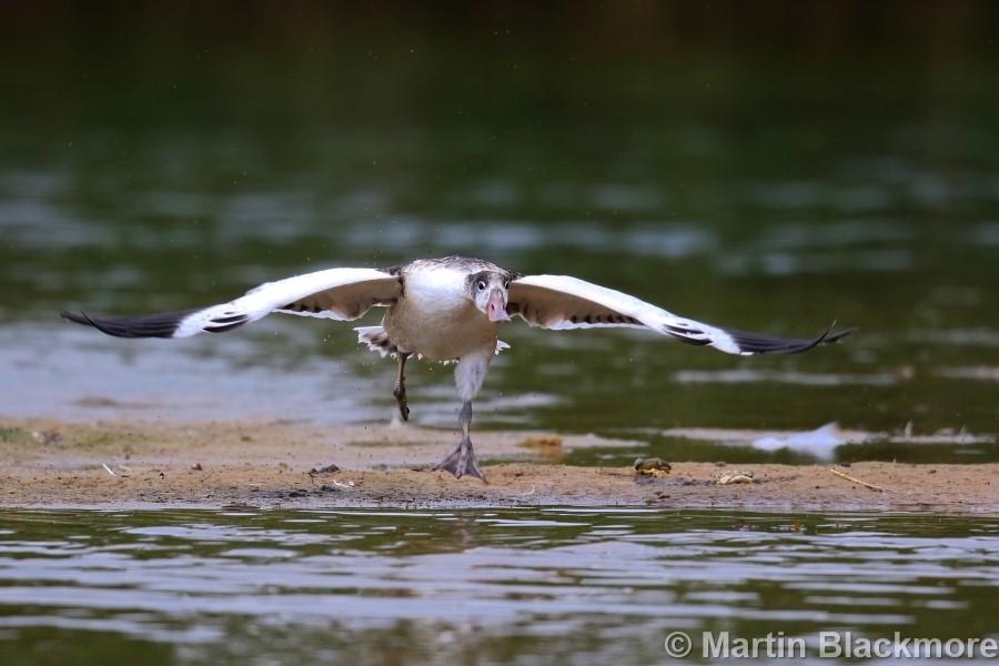 Shelduck Duckling#9
