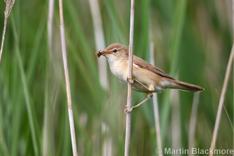 Reed Warblers Fledgling Hersey Nature Reserve