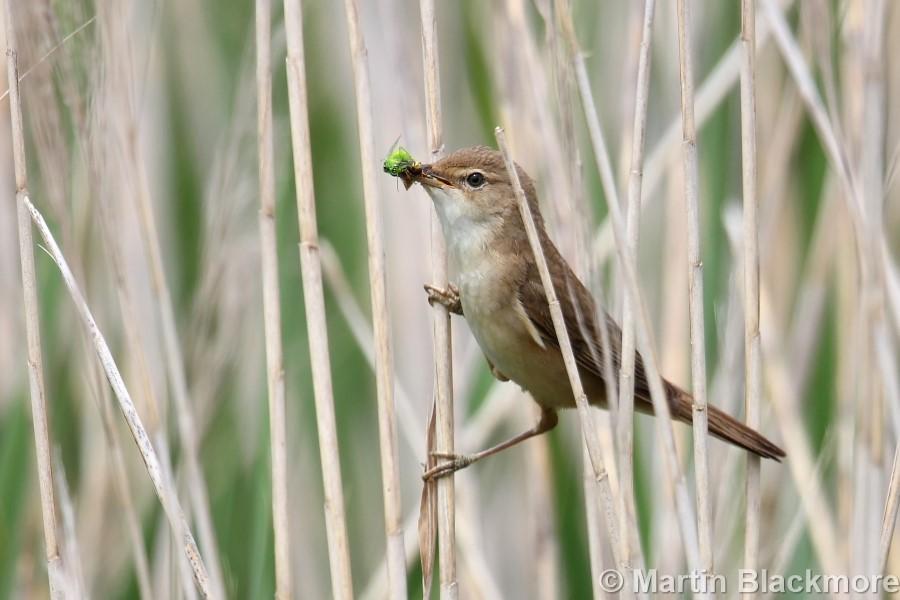 Reed Warbler#2