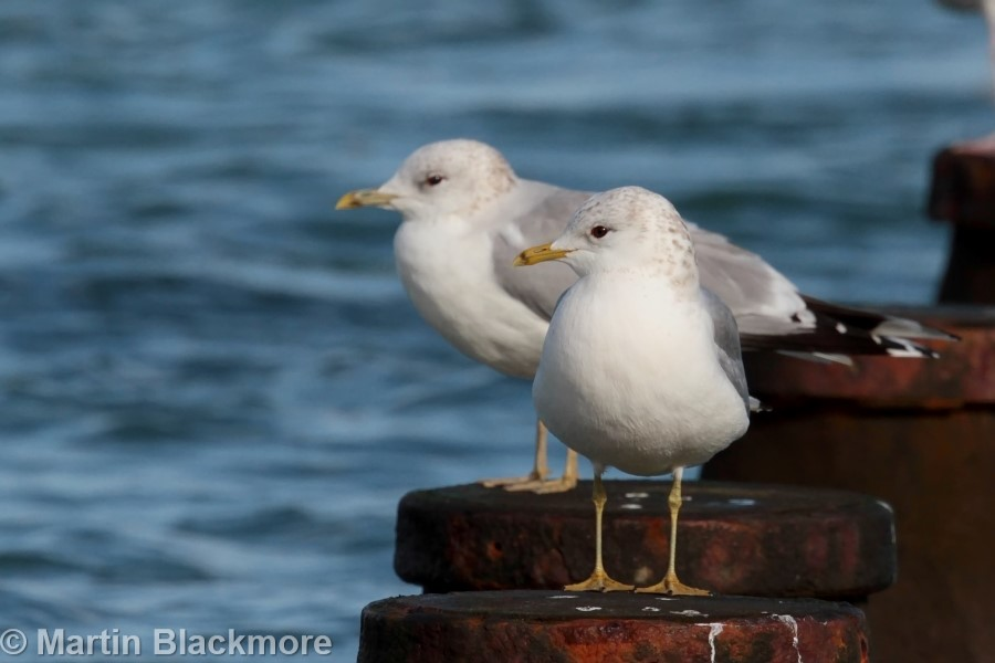 Common Gulls Seaview Duver Isle of Wight