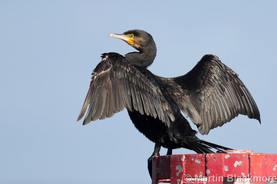 Cormorant#1