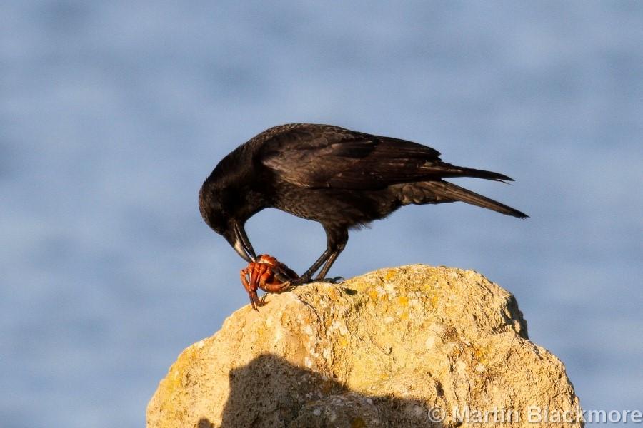 Crow#1