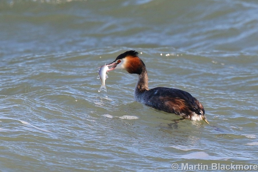 Great Crested Grebe Seaview Duver Isle of Wight
