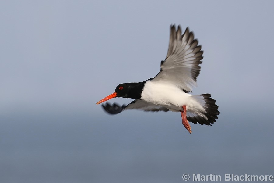 Oystercatcher in flight Seaview Duver Isle of Wight