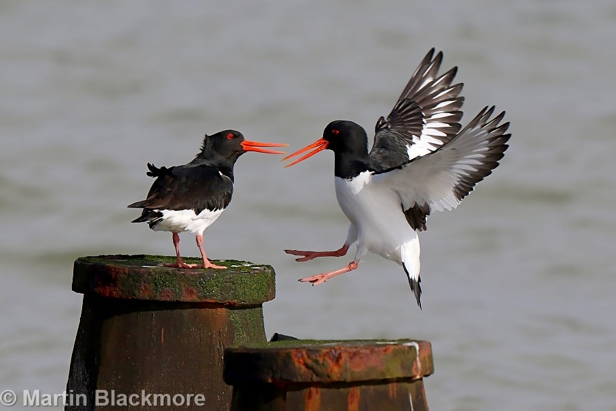 Oystercatchers Seaview Duver Isle of Wight