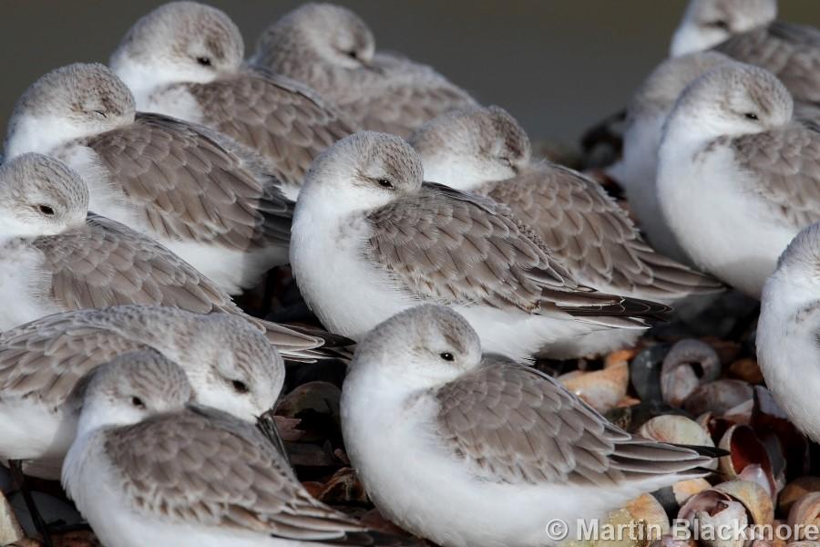 Sanderling flock#2