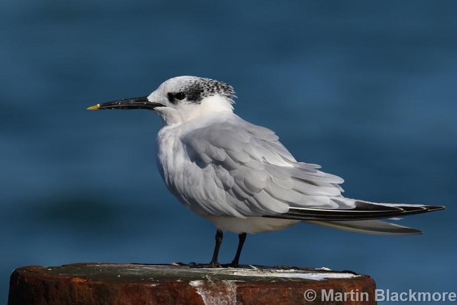 Sandwich Tern#1