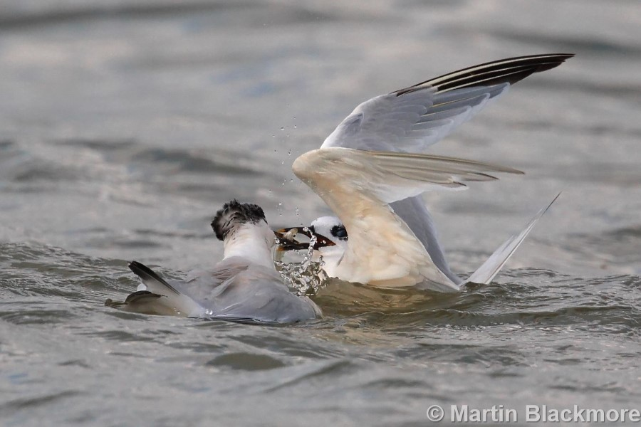 Sanwich Tern feeding young Seaview Duver Isle of Wight