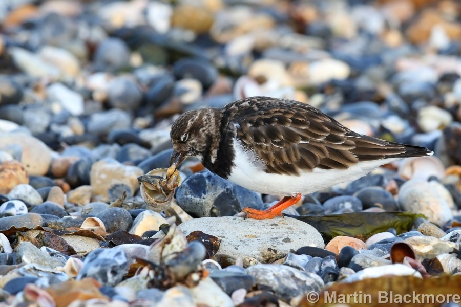 Turnstone Seaview Duver Isle of Wight