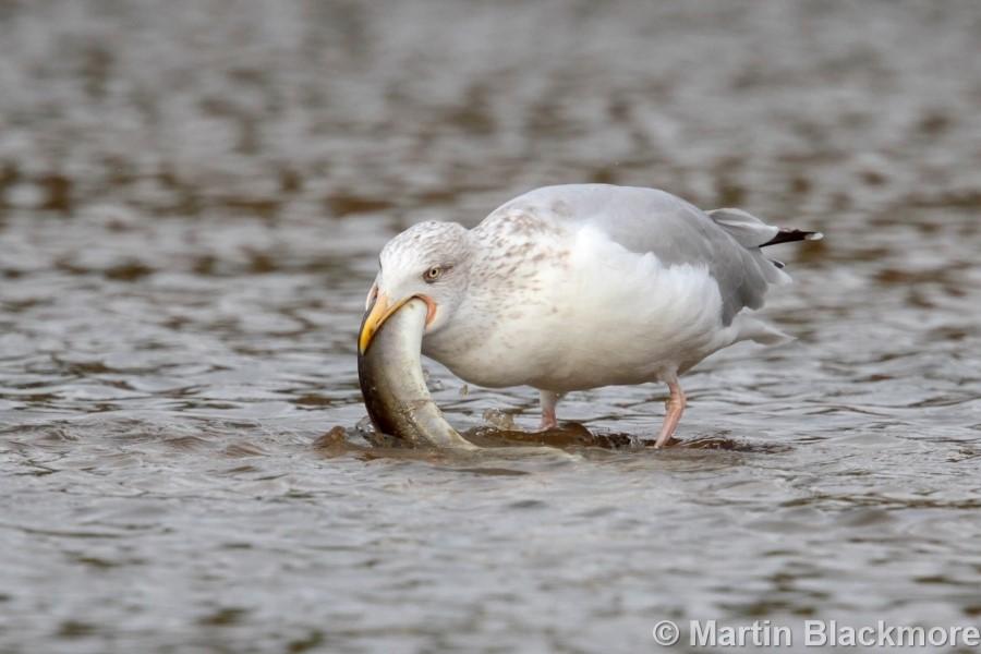 Herring Gull with Eel#2