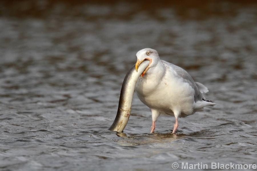 Herring Gull with Eel#3