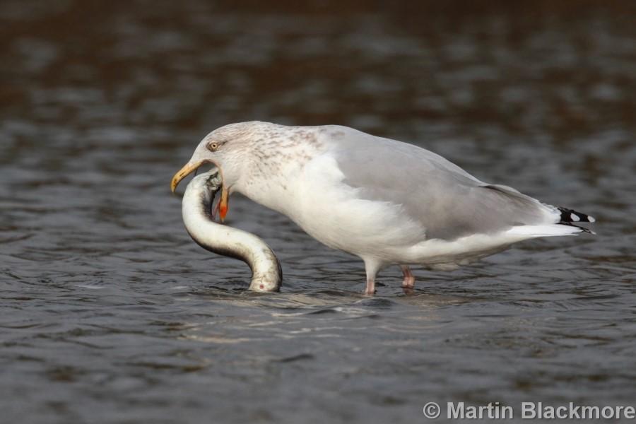 Herring Gull with Eel#4
