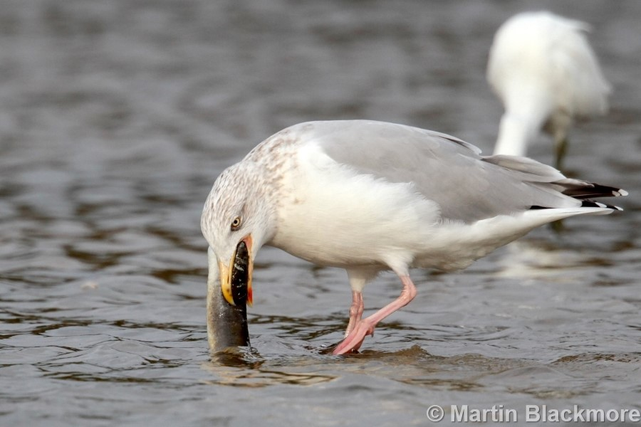 Herring Gull with Eel#6