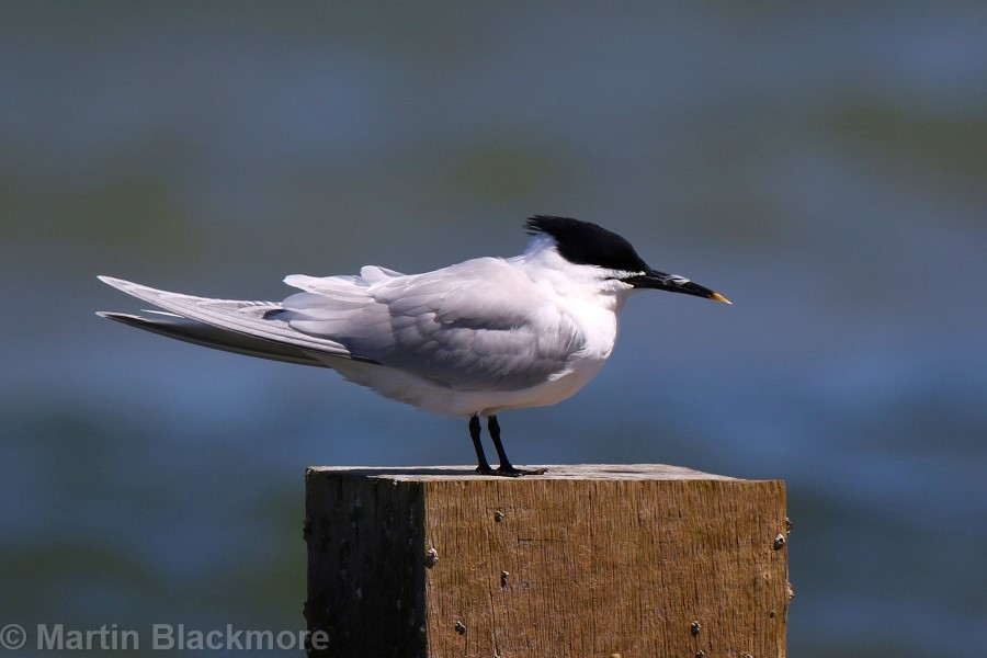Sandwich Tern Seaview Duver Isle of Wight