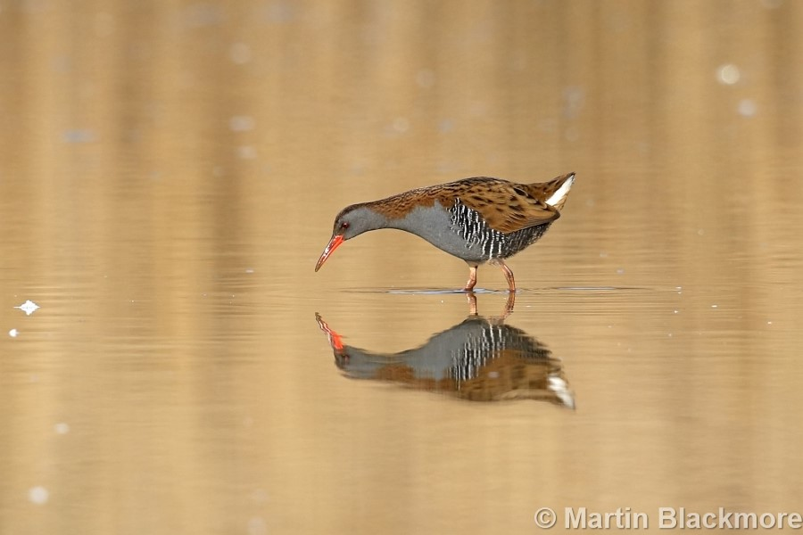 Water Rail Hersey Nature Reserve Seaview Isle of Wight