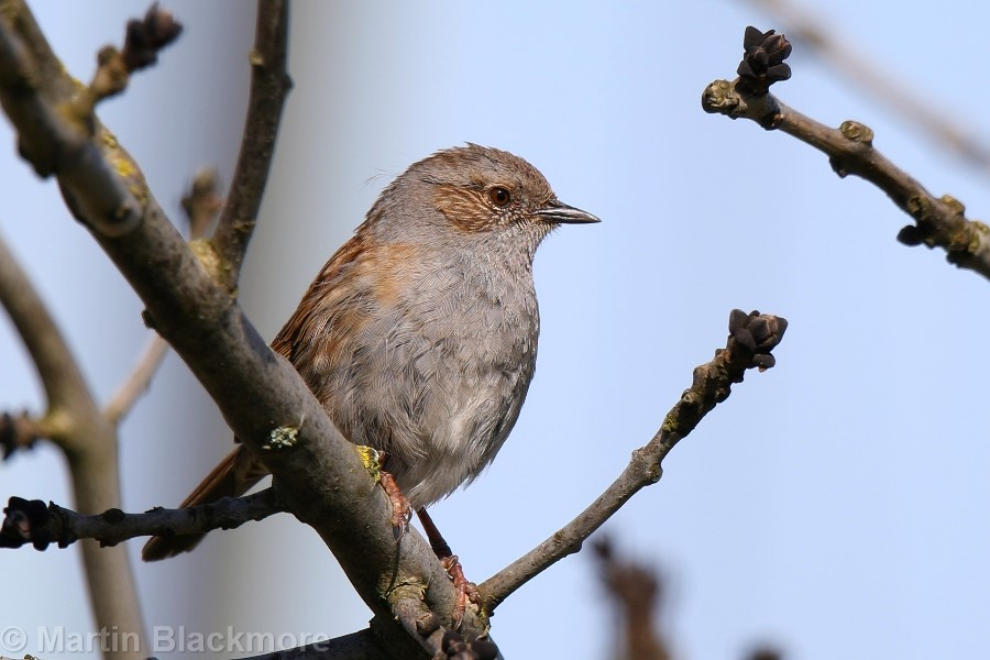 Dunnock Hersey Nature Reserve Seaview Isle of Wight