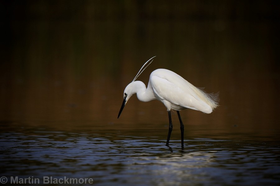 Little Egret Hersey Nature Reserve Seaview Isle of Wight