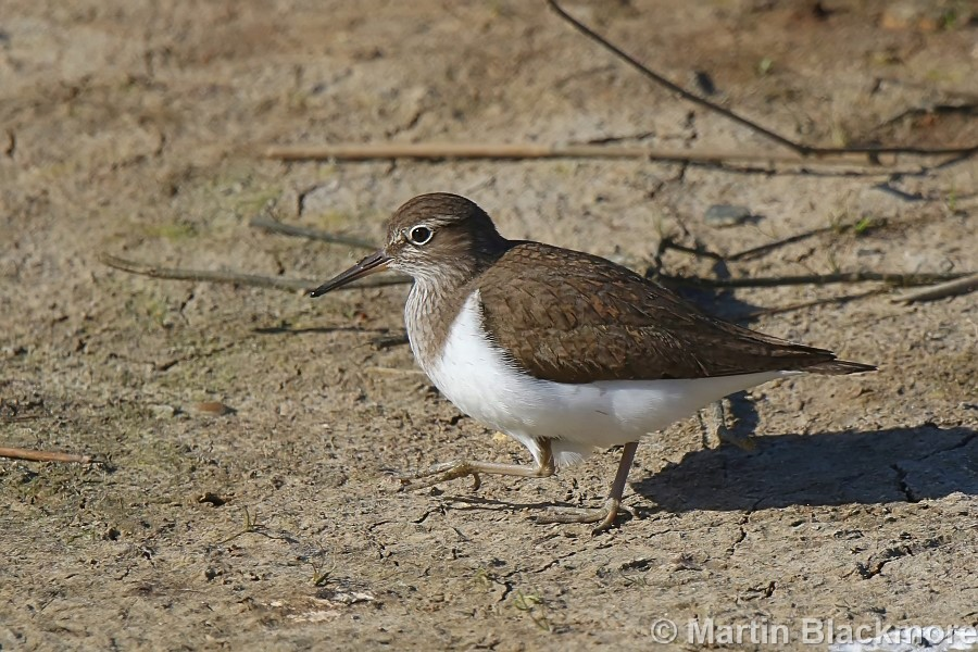 Common Sandpiper Hersey Nature Reserve
