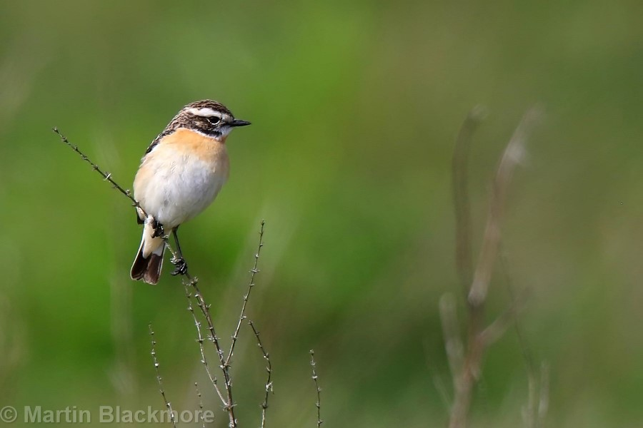 Whinchat Hersey Natyre Reserve Seaview Isle of Wight