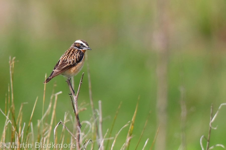 Whinchat Hersey Nature Reserve Seaview Isle of Wight