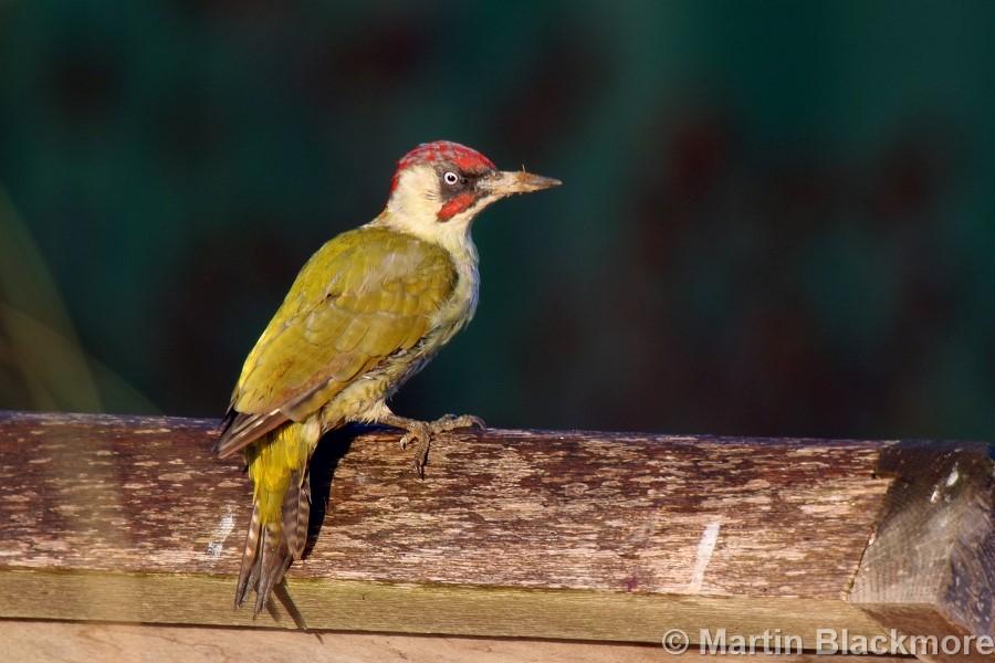 green-woodpecker12